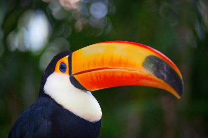 photodune-5366878-colorful-tucan-xs-419×278
